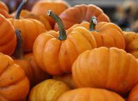 Jack Be Little Pumpkins Seed - Miniature Culinary Pumpkin Seeds (1gr to 100gr)