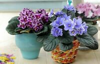 50 Saintpaulia Flower Seeds Mixed African Violet Bonsai Beautiful Plant Garden
