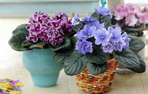 50 Saintpaulia Flower Seeds Mixed African Violet Bonsai Beautiful Plant Garden