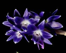 Orchid Species Dendrobium victoria-reginae BIG Bloom Size