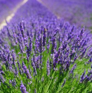 100 ORGANIC ENGLISH LAVENDER Seeds – Premium Quality, Free Postage – Pollinators