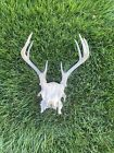 Pennsylvania Whitetail Deer Skull And Antlers 8 Point