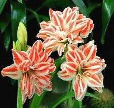 FD4531 □ Rare Seeds Hippeastrum Striatum Seeds Amaryllis Flower Plant Seed 10PCs
