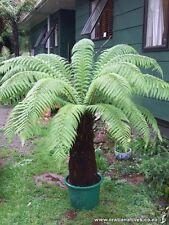 HARDY GOLDEN Tree Fern (dicksonia fibrosa) - 25 + FRESH spore (sementi)