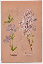 Blumen, Blüten, Kräuter. Kleines Singrün / Gemeiner Flieder - Lithographie 1886
