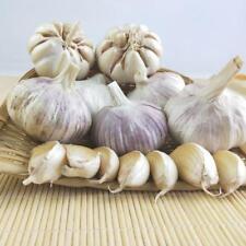 200X  Riesige Knoblauch  Organische Bulb Seed Samen HeirloomHausgarten Gemü M9S2