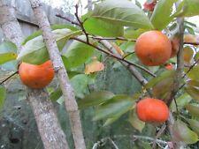 Fuyu Japanese Persimmon 4 Cuttings Organic
