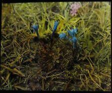 Glass Magic Lantern Slide Wild Blue Flowers C1940 Photo