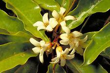 Pittosporum undulatum - Sweet pittosporum - native daphne - 10 seeds