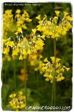 Primula florindae 'Giant Cowslip' 100+ SEEDS