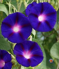 50 Morning Glory Grandpa Ott Purple Flower Seeds w/ Gift - Comb S/H