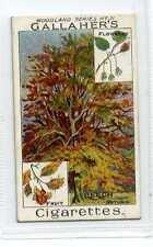 (Jc1827-100)  GALLAHERS,WOODLAND TREES,THE BEECH TREE,1912#31