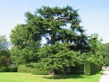 Cedar Of Lebanon, Lebanon Cedar (Cedrus libani) 15 seeds