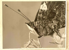 Andrew E. Carr Photographer, Red Admiral Butterfly, Vintage Photo, USA, 1985