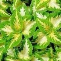 Coleus - Wizard Jade - 50 Seeds