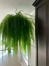 2(two) Ferns Nephrolepis pendula Houseplant Air Purifier