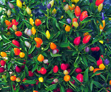 25 Prairie Fire Ornamental Pepper Seeds Spicy Seed Plant Perennial 60 US SELLER