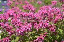 20 x Pretty Pink Monarda didyma 'Heidelerche' Bergamot Bee Balm hardy seeds