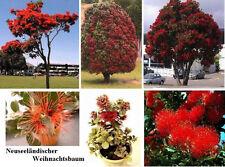 Australischer roter Weihnachtsbaum sein Duft vertreibt Mücken / Frische Samen