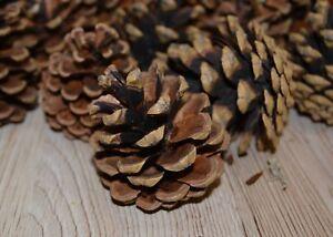 Tannenzapfen, Kiefernzapfen,Natur große Zapfen 5-10cm für Weihnachten, Deko usw.