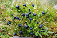 Blueberry (Vaccinium myrtillus) 100 seeds