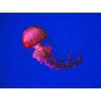 Singh Pink Jellyfish Large Canvas Wall Art Print