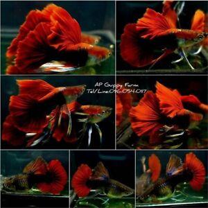 1Pair - Live Aquarium Guppy Fish - Half Black Red Rose Ribbon - USA Seller