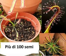 100 semi DROSERA Capensis - Pianta Carnivora -STOP a mosche, moscerini e zanzare