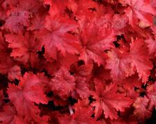 Heuchera Fire Chief wine red foliage perennial plant 1 litre pot