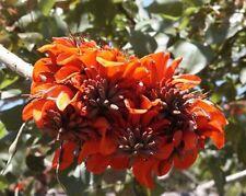Erythrina caffra Kaffir Coral tree 10 seeds