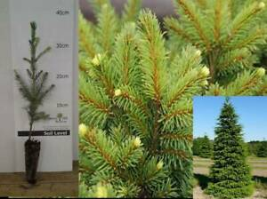 4x Norway spruce Picea plants Traditional Christmas Evergreen FIR TREE Potted