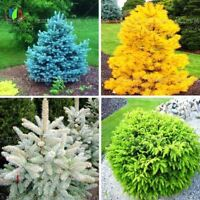 20pcs/bag Colorado Blue Spruce Tree Potted Bonsai Courtyard Garden Bonsai Plant