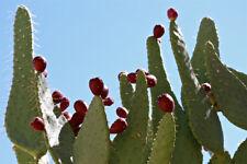1 Cutting, Cow Tongue Cactus Opuntia engelmannii linguiformis Prickly Pear Nopal