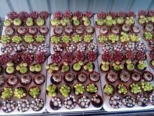80 x Sempervivum Houseleek Hen & Chicks / Succulents Plants Mini (5.5cm Pots).