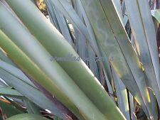 Formio, Lino de Nueva Zelanda, Phormium tenax,  60 semillas seeds graines