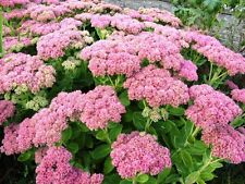 "10 Single Plants Autumn Joy Stonecrop Sedum 3"" + - Nice Pink - Hardy Perennial"