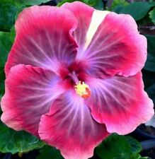 20 Pink Purple Hibiscus Seeds Perennial Flower Tropical Garden Exotic Hardy 271