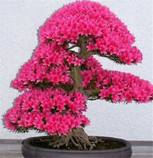 Bonsai Tree Japanese Sakura Seeds 10pcs, Bonsai Flower Cherry Blossoms Red
