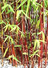 Der winterharte rote Bambus Red Panda ist der richtige Kontrastgeber im Garten