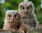 Baby Owls / Birds 8 x 10 / 8x10 GLOSSY Photo Picture Image #19
