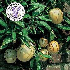 Rare Pepino Melon Pear Pepino Dulce 8 seeds  UK SELLER.