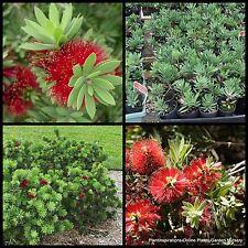 8 Dwarf Bottle Brush Little John Native Hardy Garden Plant Callistemon viminalis