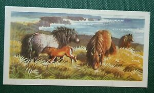 SHETLAND PONIES   Original 1958 Unmounted Small Picture Card