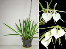Cattleya BRASSAVOLA NODOSA Blooming Size Fragrant Orchid Plant, Rare, Garden