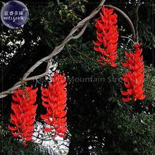 Rare Mucuna Benettii Red Jade Vine Seeds Strongylodon Macrobotrys Flower