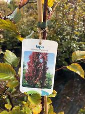 Blutbuche 175-200cm Fagus sylvatica purpurea gestäbte A Qualität / 10 Liter Topf