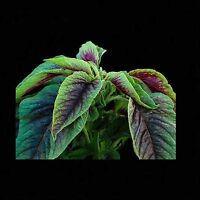 AMARANTH RED CALLALOO 800 SEEDS NON-GMO Tricolor CHINESE SPINACH Medicinal Herb