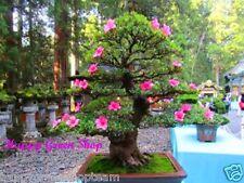 Montaña Laurel - 500 Bonsai Semillas-kalmia officinalis, Lavandula latifolia árbol, Arbusto De Hoja Perenne