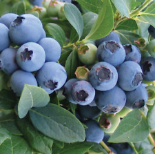 Blueberries Fruit Plant Seeds Blueberry Fruits Nutritional Plants Seed 10 Pcs