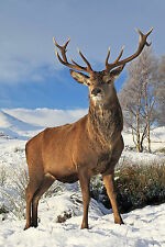 STUNNING SCOTTISH RED DEER STAG CANVAS #34 HIGHLANDS WILDLIFE CANVAS PICTURE A1